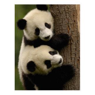 Bébés de panda géant (melanoleuca d'Ailuropoda) 2 Cartes Postales