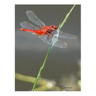 Belle carte postale rouge de libellule