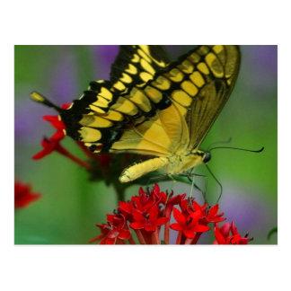 Belle photo de papillon de monarque carte postale