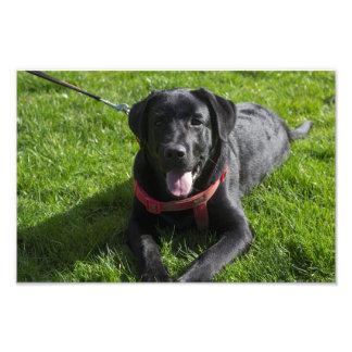 Belle photographie imprimée d'un Labrador noir