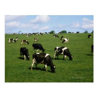 Bétail de frison du Holstein, Irlande Carte Postale