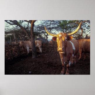 Bétail de Nguni dans la clôture, Shakaland, Eshowe Posters