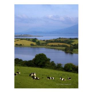 Bétail du Holstein-Fresian, baie de Bantry, liège Carte Postale