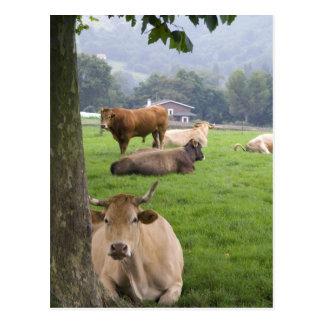 Bétail sur les terres cultivables rurales près de carte postale