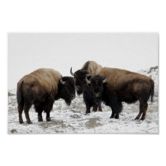 Bison américain en hiver poster