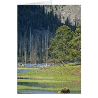 Bison avec le veau au parc national de Yellowstone Carte De Vœux
