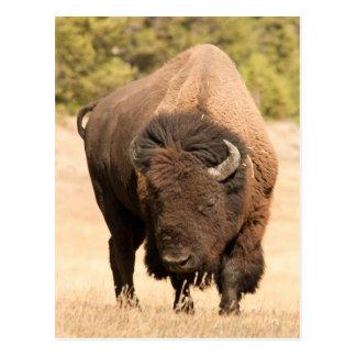 Bison Carte Postale