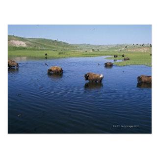 Bison dans l'eau avec de nombreuses hirondelles de carte postale