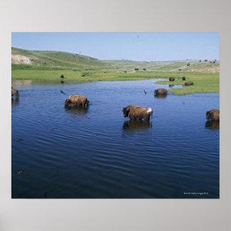 Bison dans l'eau avec de nombreuses hirondelles de posters