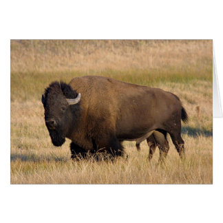 Bison dans Yellowstone Carte De Vœux
