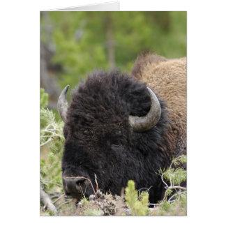 Bison de Taureau se reposant dans la forêt, Carte De Vœux