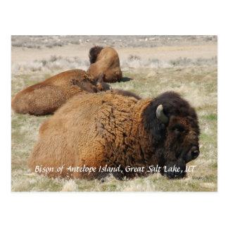 Bison d'île d'antilope carte postale