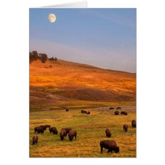 Bison frôlant sur la colline à la vallée de Hayden Carte De Vœux