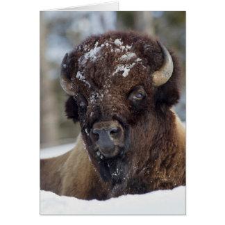 Bison Taureau, hiver 3 Carte De Vœux