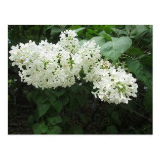 Blanc lilas carte postale