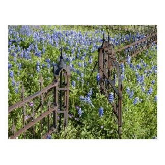 Bluebonnets et porte environnante de cimetière de carte postale