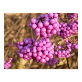 Bodinieri de Callicarpa (rose) - carte postale