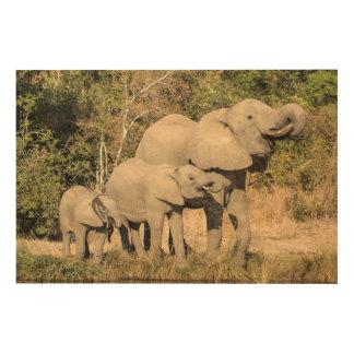 Boire de famille d'éléphant impression sur bois