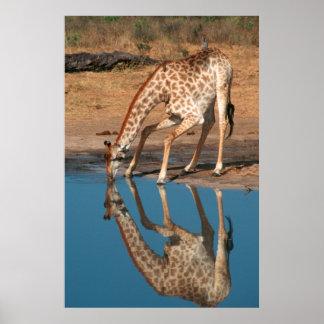 Boire de girafe (Giraffa Camelopardalis) Affiches