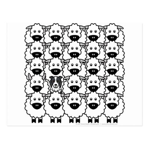 Border collie chez les moutons carte postale