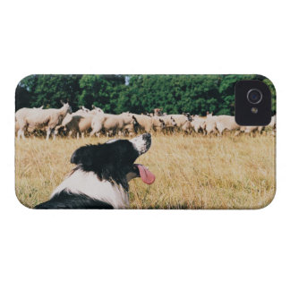 Border collie observant des moutons coques iPhone 4 Case-Mate