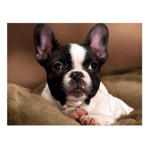 Boston Terrier Cartes Postales
