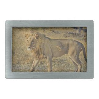 Boucles De Ceinture Rectangulaires Beau mâle de lion marchant sur la savane