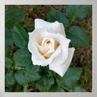 bouton de rose blanc poster