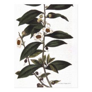 Brin de buisson de thé carte postale