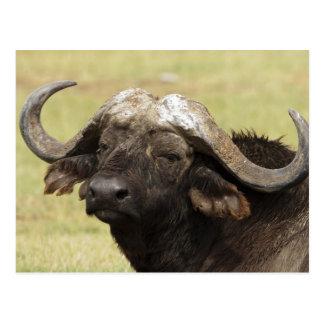 Buffalo africain, caffer de Syncerus, se tenant Carte Postale