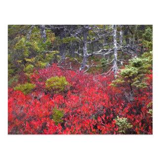 Buissons et pins de myrtille carte postale