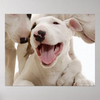Bulls-terrier joyeux poster