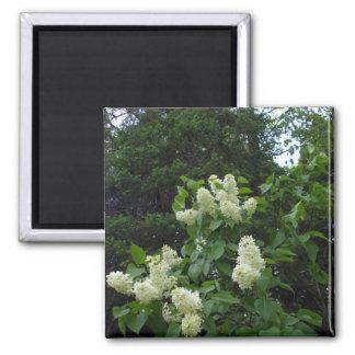 Bush lilas blanc et pins aimant
