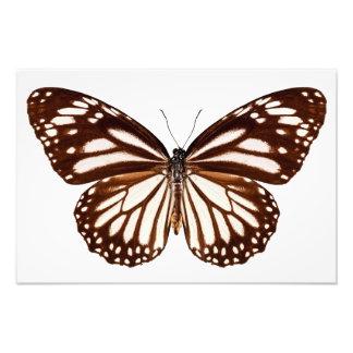 Butterfly species Danaus melanippus «White Tiger Tirage Photo