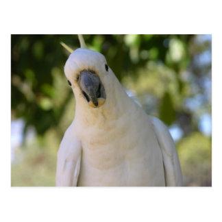 Cacatoès crêté Kakadu de soufre Cartes Postales
