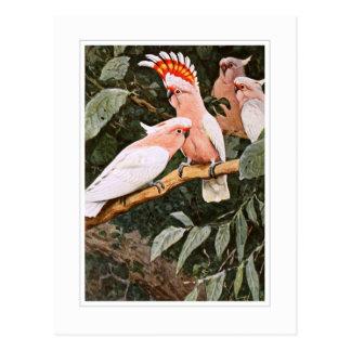 Cacatoès d'Inca ; par W.Kuhnert Cartes Postales