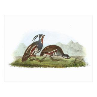 Cailles de montagne par Audubon Carte Postale