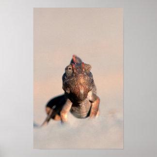 Caméléon de Namaqua (Chamaeleo Namaquensis)