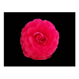 Camélia rose lumineux carte postale