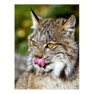 Canadien Lynx - lèchement de ses côtelettes Carte Postale