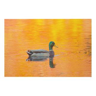 Canard de Mallard sur le lac orange, Canada Impression Sur Bois