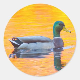 Canard de Mallard sur le lac orange, Canada Sticker Rond