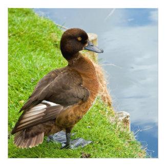 Canard de plongée tufté brun-rougeâtre femelle impression photo