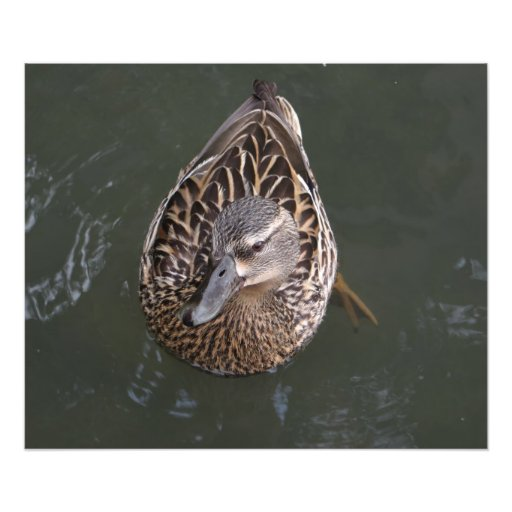 Canard femelle de Mallard Impressions Photo