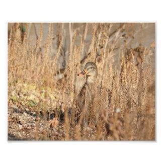 Canard femelle de Mallard dans les roseaux Photographes