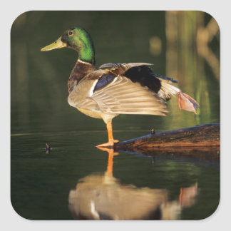 Canard masculin s'étirant, l'Illinois Sticker Carré