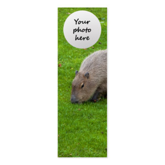 Capybara animal extraordinaire