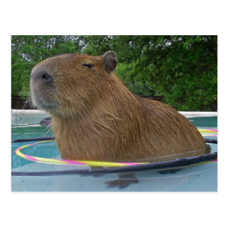 Capybara de piscine carte postale