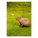 Capybara Photographes