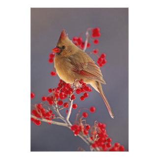 Cardinal du nord féminin parmi l'aubépine photos